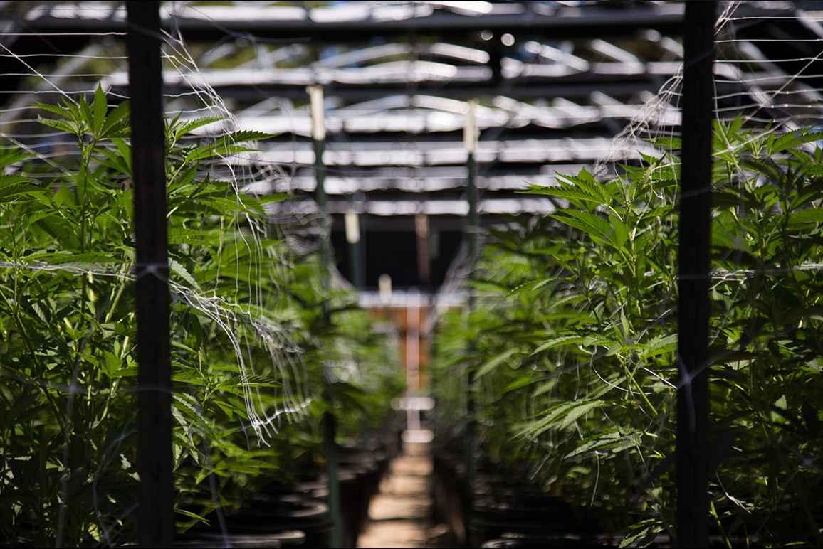 marijuana reparations